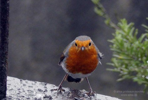 robin, european birds, bird, nature, photography, ailsa prideaux-mooney